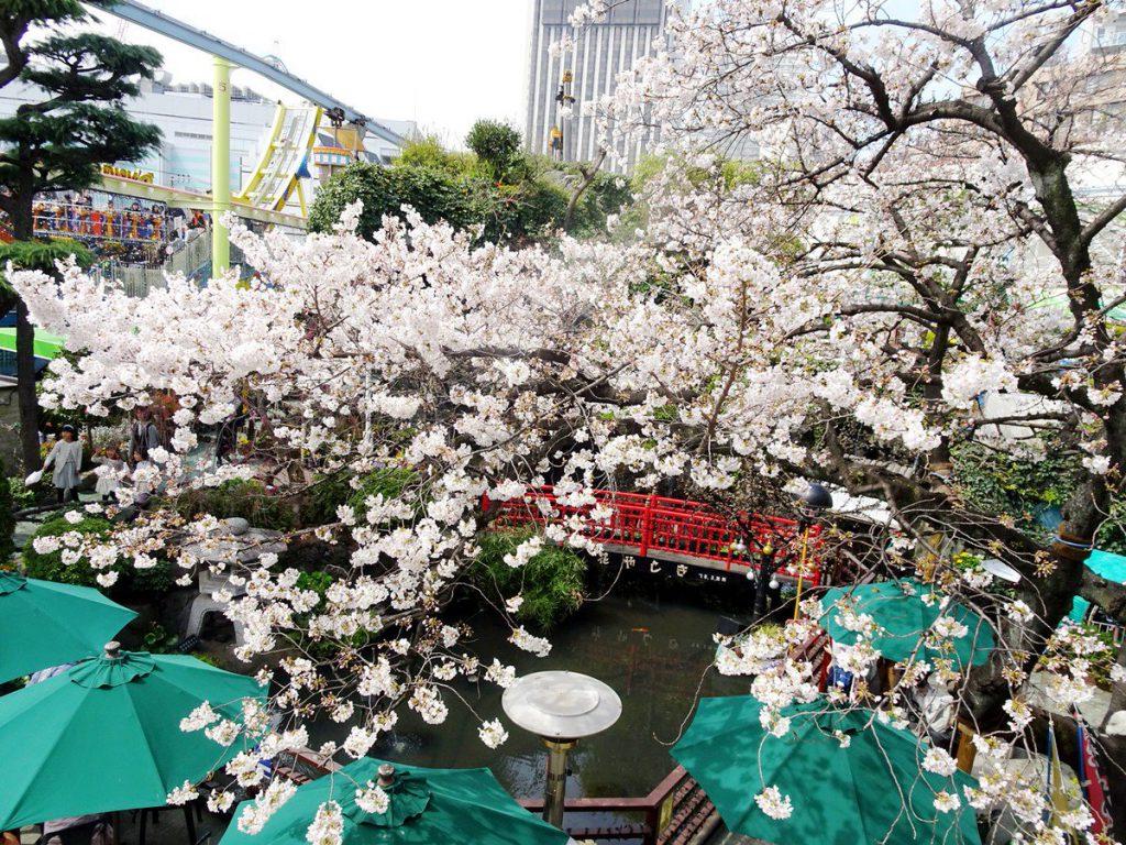 浅草花やしきの桜